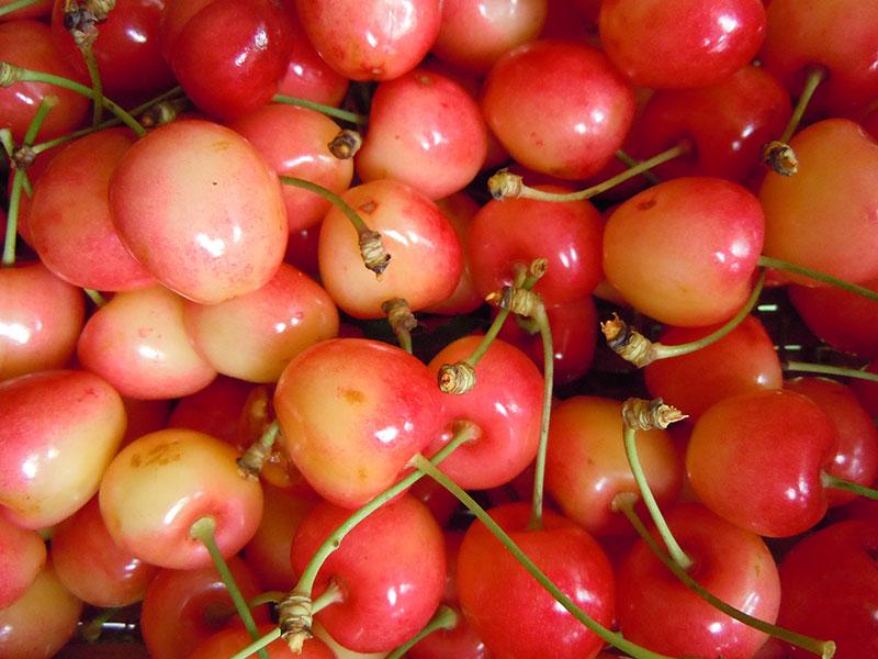 pepiniere-biologique-arbre-cerise-bigarreau-napoleon