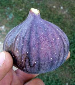 pepiniere-biologique-arbre-figue-bourjassotte-solies
