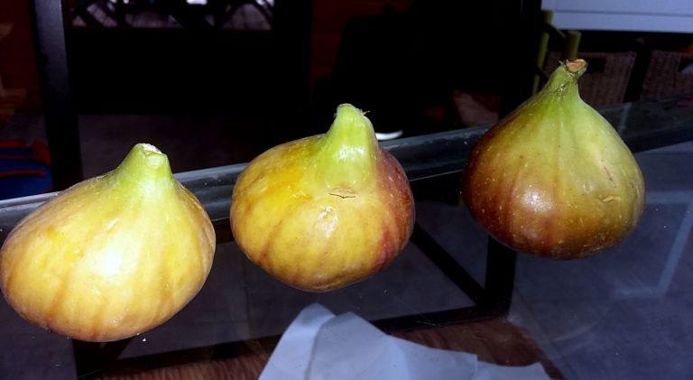 pepiniere-biologique-arbre-figue-doree-fruit