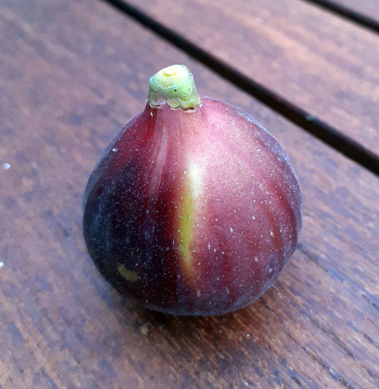 pepiniere-biologique-arbre-figue-ronde-de-bordeaux-fruit