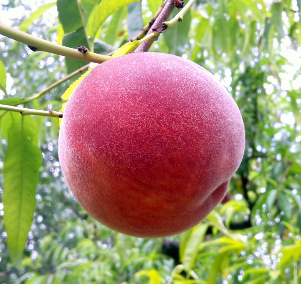 pepiniere-biologique-arbre-peche-red-haven-fruit