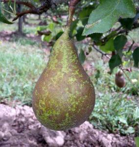 pepiniere-biologique-arbre-poire-conference-fruit