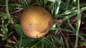 pepiniere-biologique-arbre-poire-general-leclerc-fruit