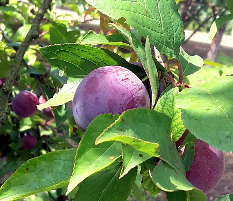 pepiniere-biologique-arbre-prune-helena-fruit-2