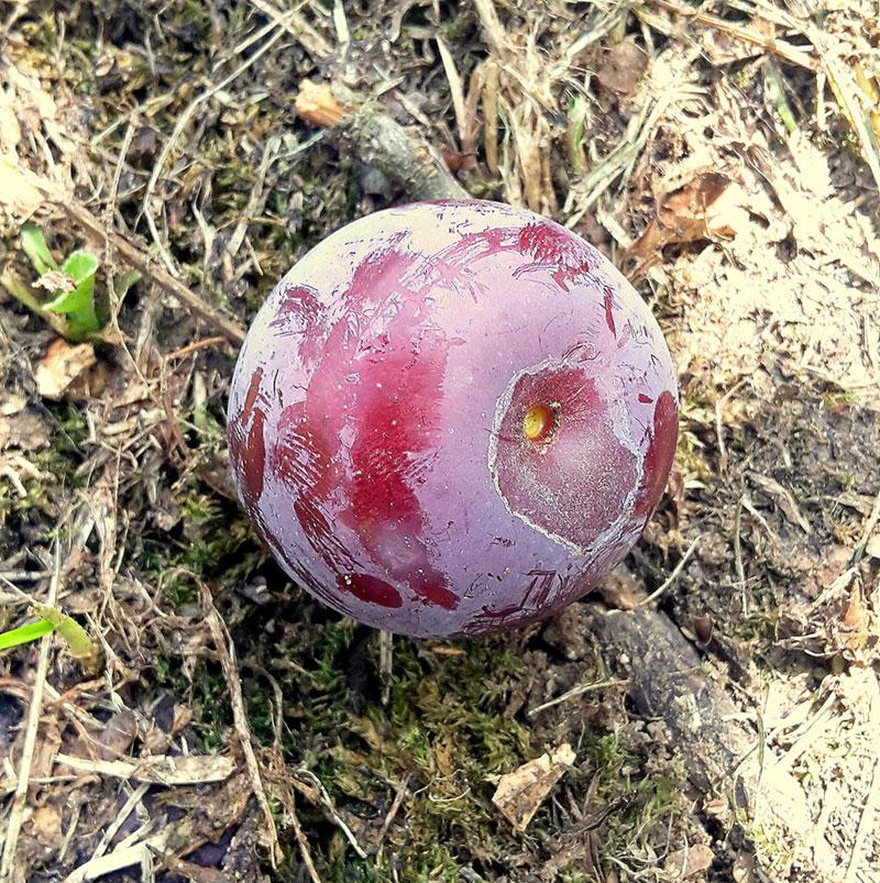 pepiniere-biologique-arbre-prune-helena-fruit