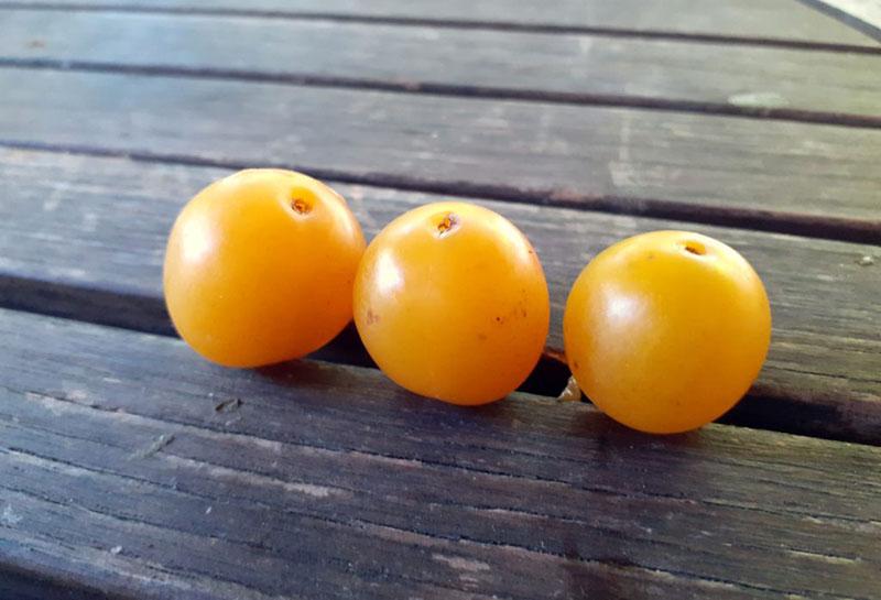 pepiniere-biologique-arbre-prune-mirabelle-fruit