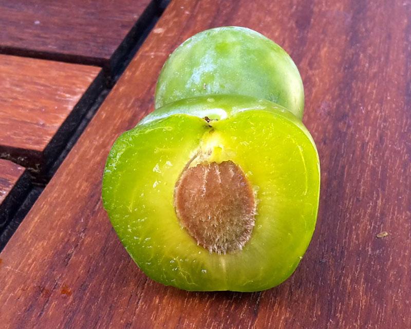 pepiniere-biologique-arbre-prune-reine-claude-doree-coupe