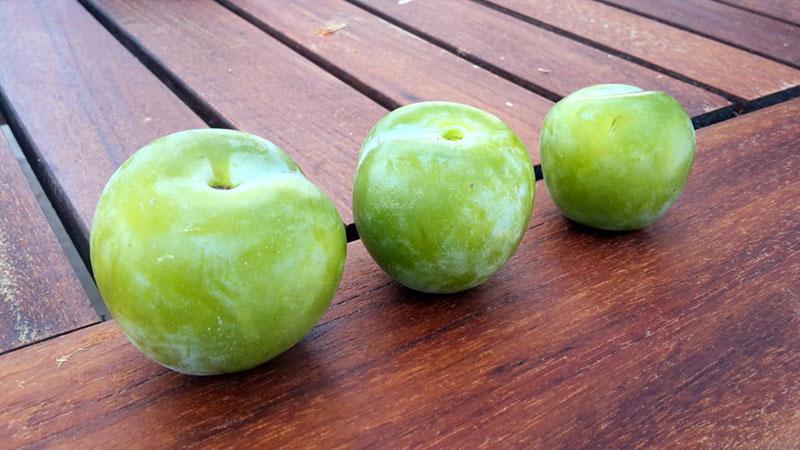 pepiniere-biologique-arbre-prune-reine-claude-doree-fruit