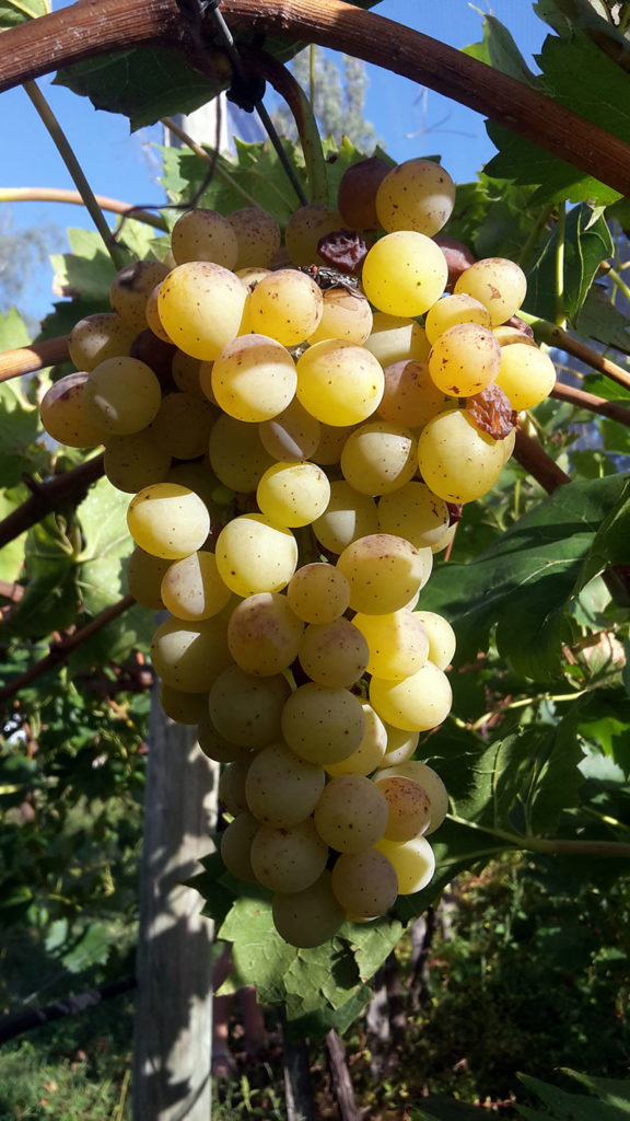 pepiniere-biologique-vigne-raisin-palatina